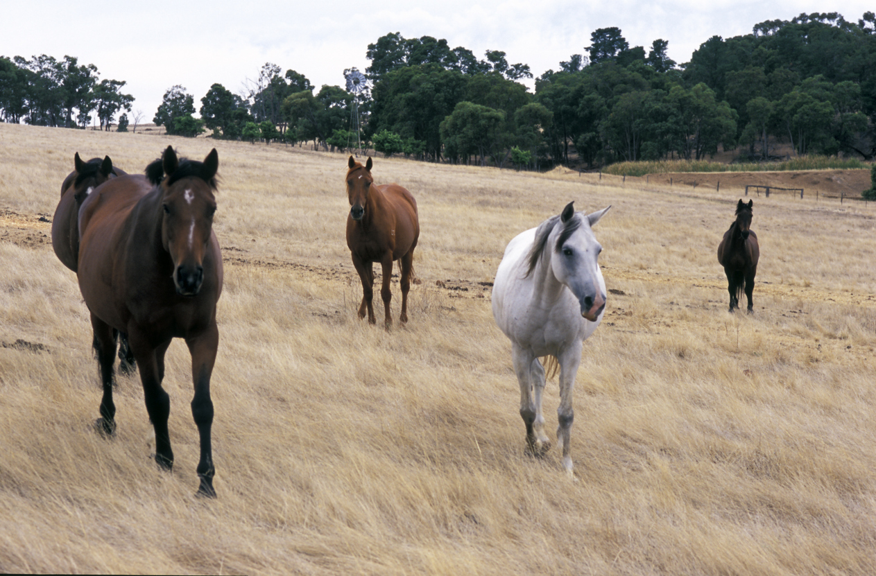 Work For National Horse Traceability System Underway - Horseyard.com.au