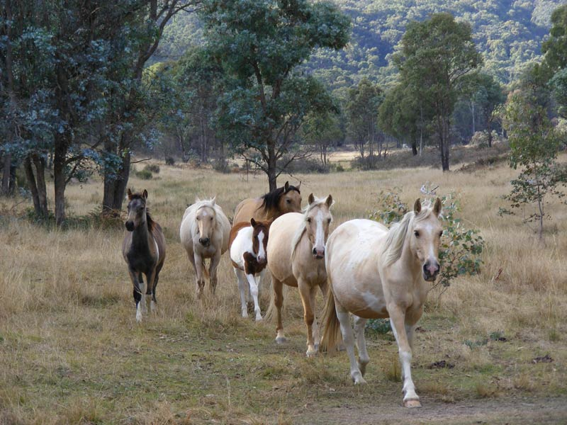 Victorian Brumby Running: An Insight