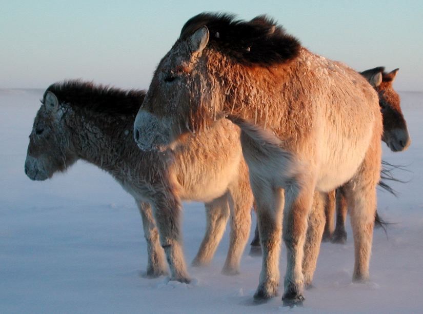 Helping Wild Horses Survive Extreme Weather In Mongolia